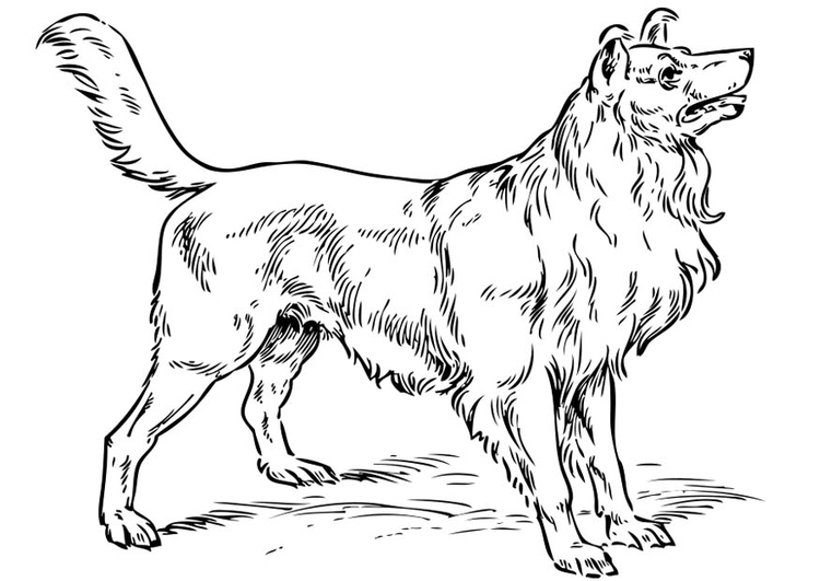 Coloring page Dog - Collie