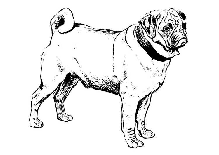 Coloring page dog - pug