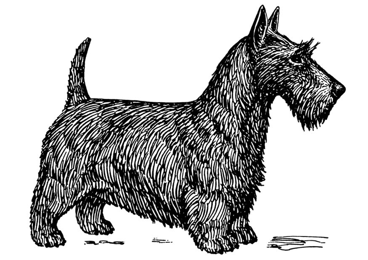 Coloring page dog - Scottish terrier