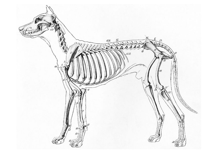Coloring page dog skeleton