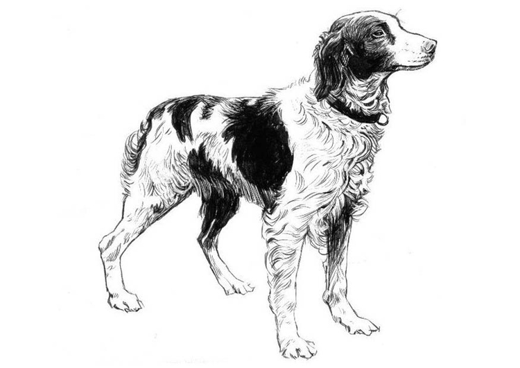 Coloring page dog - spaniel