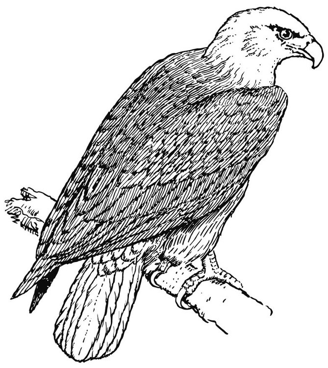 Coloring page Eagle - img 15695.