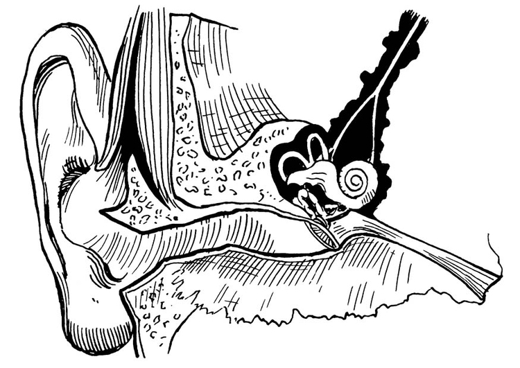Coloring page ear, internal and external