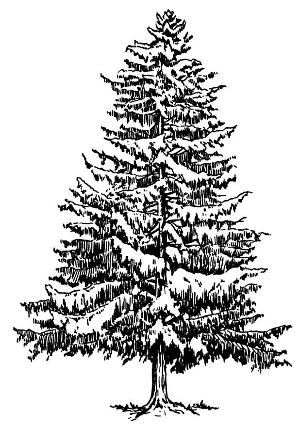 Coloring Page Fir Tree In Winter Free Printable Coloring