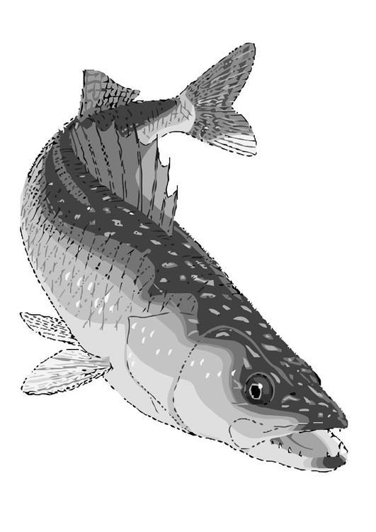 Coloring page fish walleye
