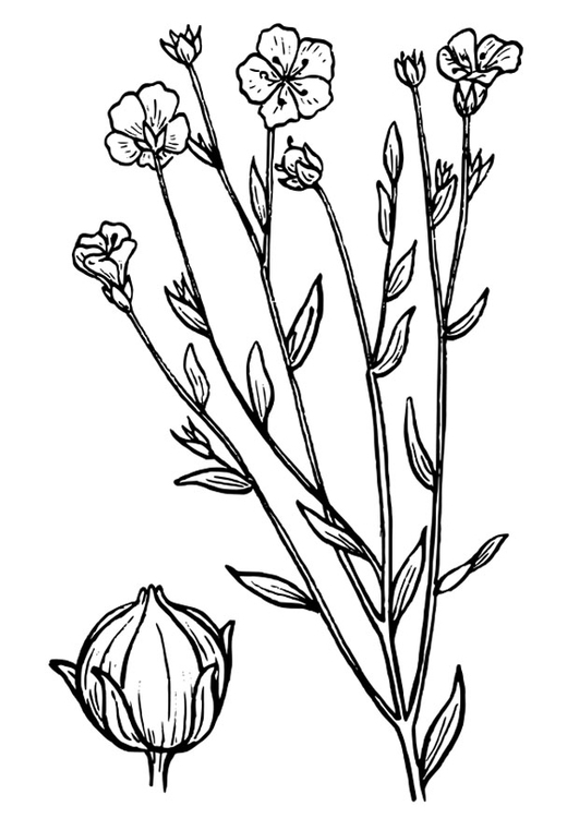 Coloring page flax
