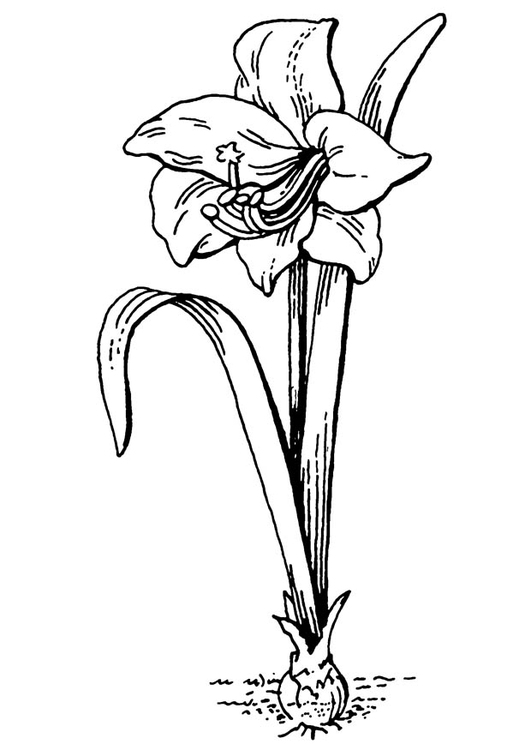 Coloring page flower - amaryllis