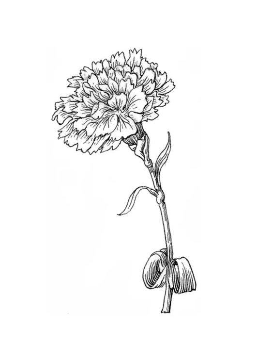 Coloring page flower - carnation