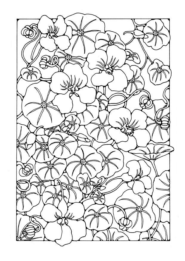 Coloring page garden nasturtium