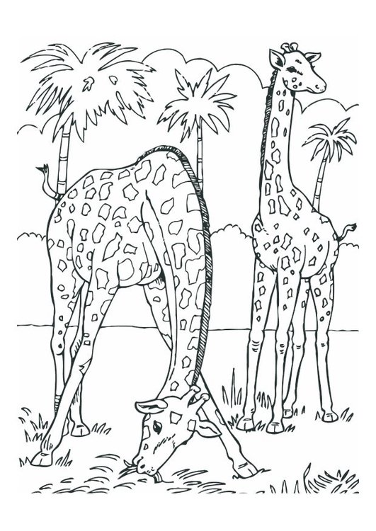 Coloring page giraffes