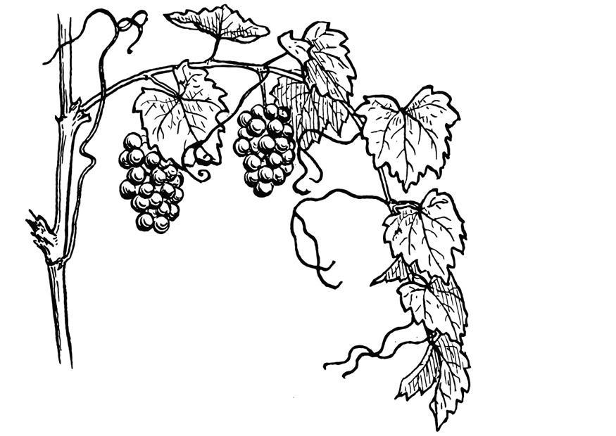 Coloring Page Grape Vine