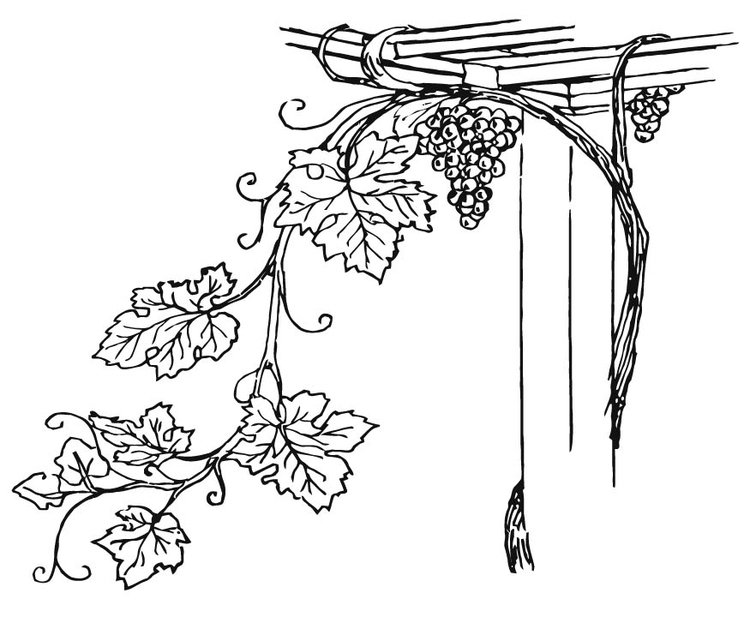 Coloring page Grapevine