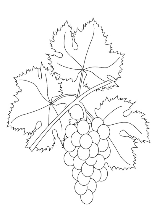 Colouring Pages Grapes Grape Vine Coloring Page Grapevine Img 9876