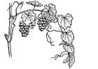 Coloring page grape-vine