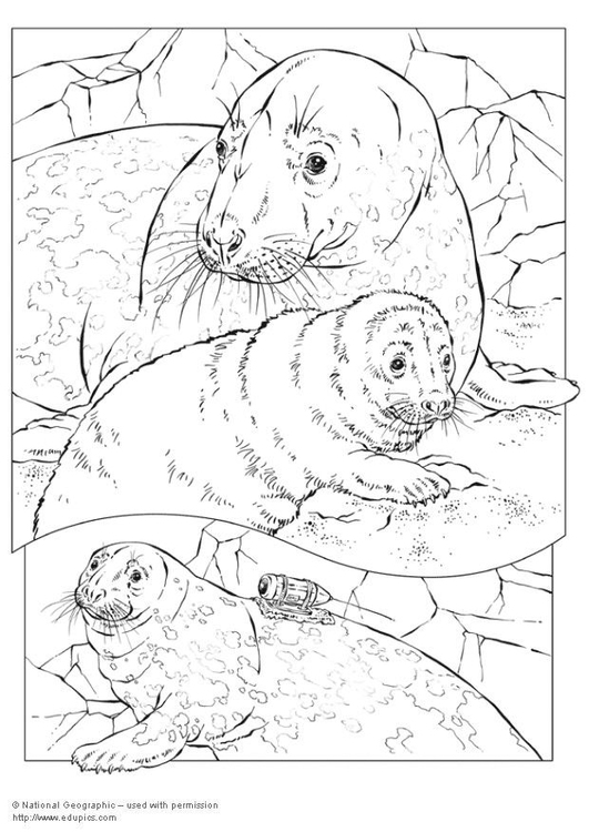 Coloring page grey seal