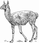 Coloring pages guanaco