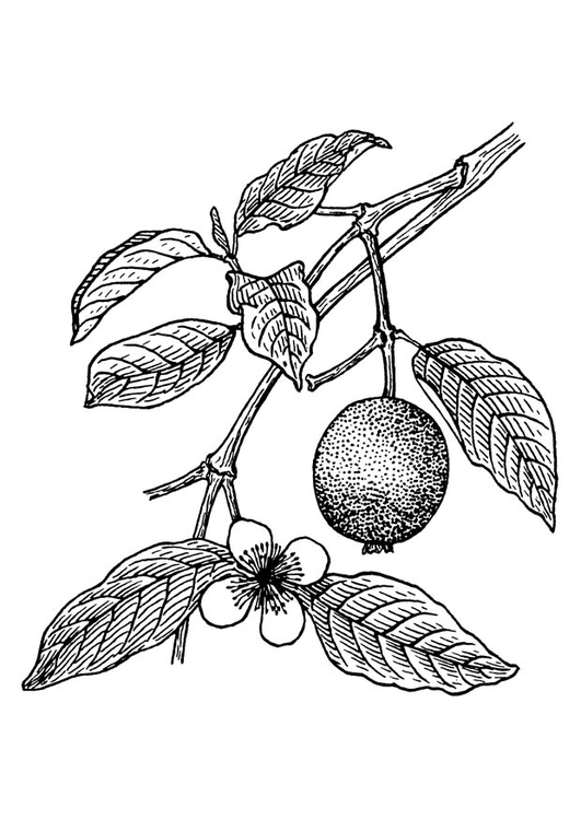 Coloring page guava