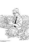 Coloring pages harvesting cauliflower