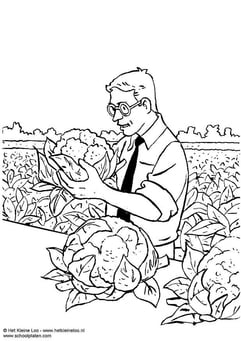 Coloring page harvesting cauliflower