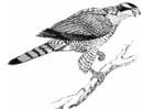 Coloring page hawk