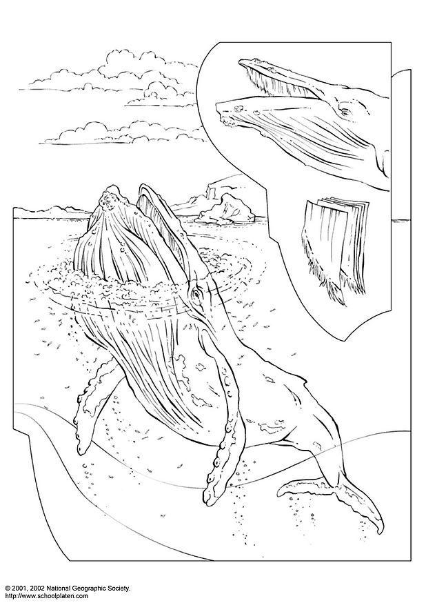 Paarden Kleurplaat Online Coloring Page Humpback Whale Free Printable Coloring Pages