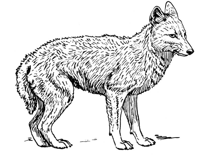 Coloring page jackal img 16645