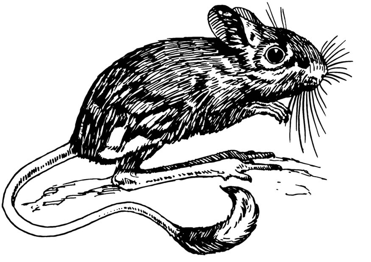 Coloring page jerboa
