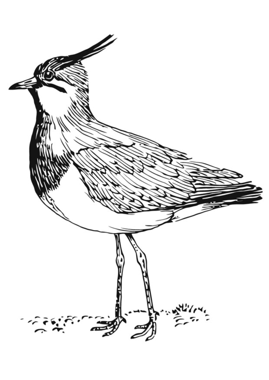 Coloring page lapwing