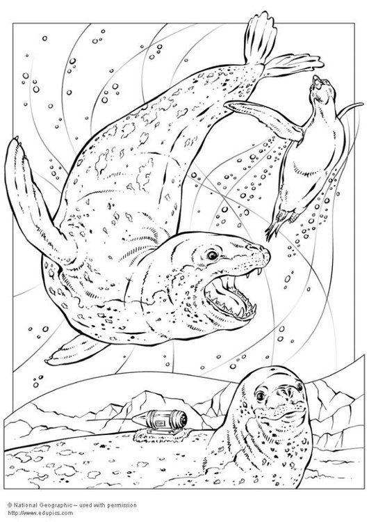Coloring page leopard seals
