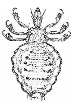Coloring page lice