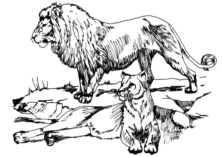 Coloring page lion and lioness
