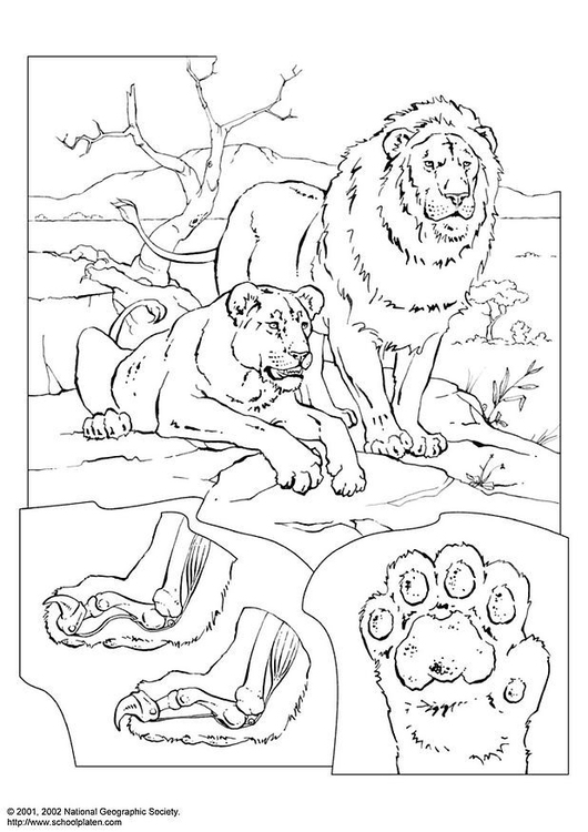 Coloring page lions