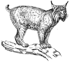 Coloring pages lynx