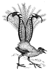 Coloring page lyrebird