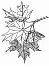 Coloring pages maple