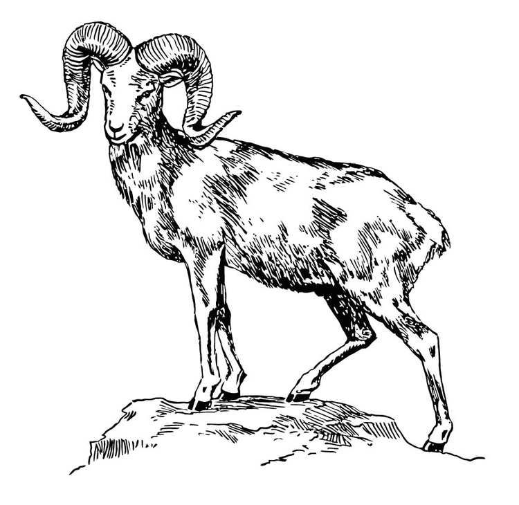 Coloring page mountain sheep - argali