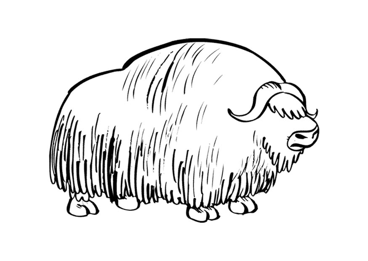 Coloring Page Musk Ox Img 9680 Ox Coloring Page