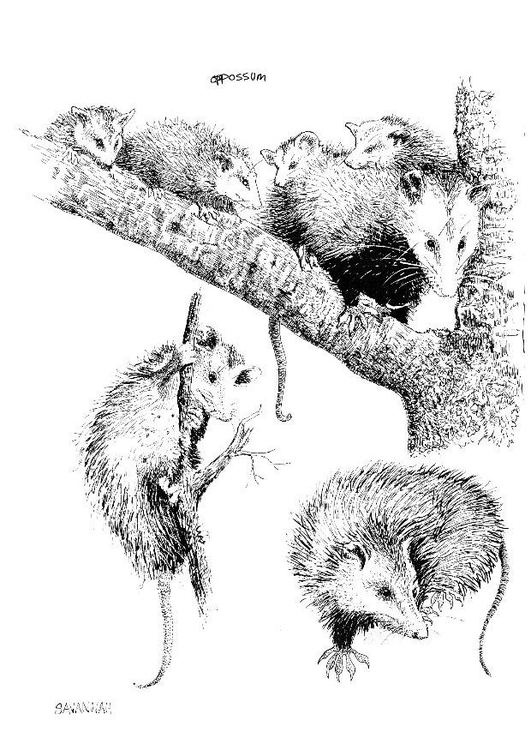 Coloring Page Opossum Img 8550