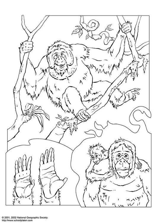 coloring page orangutan img 3072
