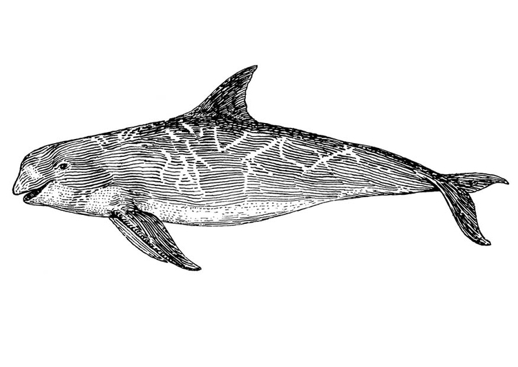 Coloring page orca