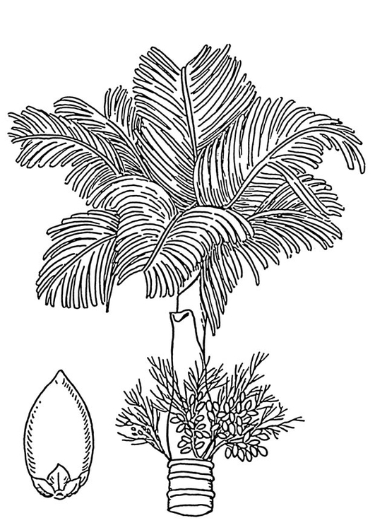 Coloring page palm - areca palm and areca nut