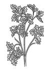 Coloring pages parsley