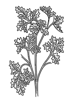 Coloring page parsley