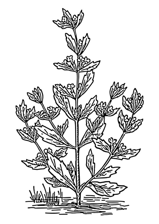 Coloring page pennyroyal