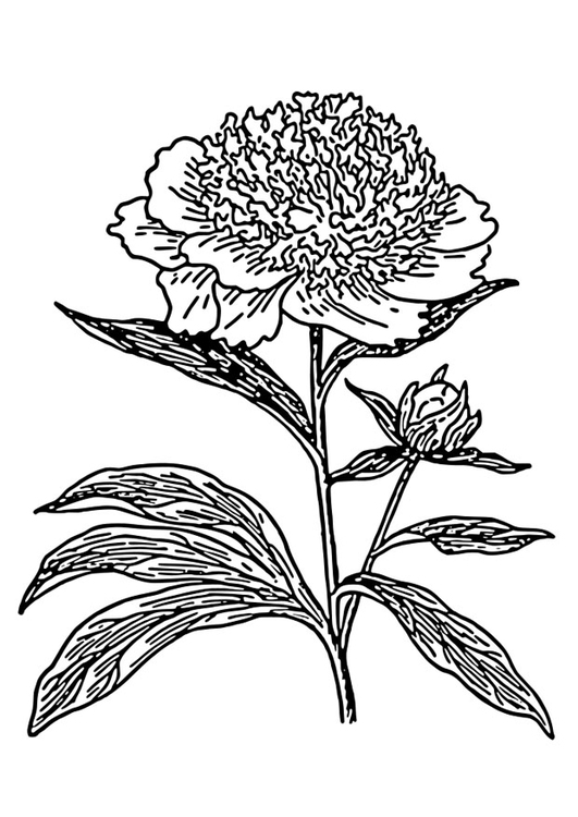 Coloring page peony