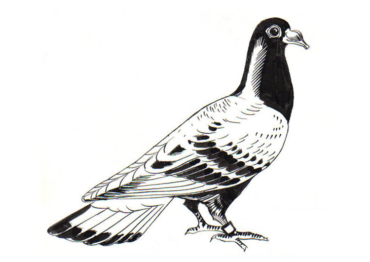 Coloring page pigeon - carrier pigeon