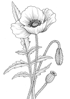 Coloring page poppy
