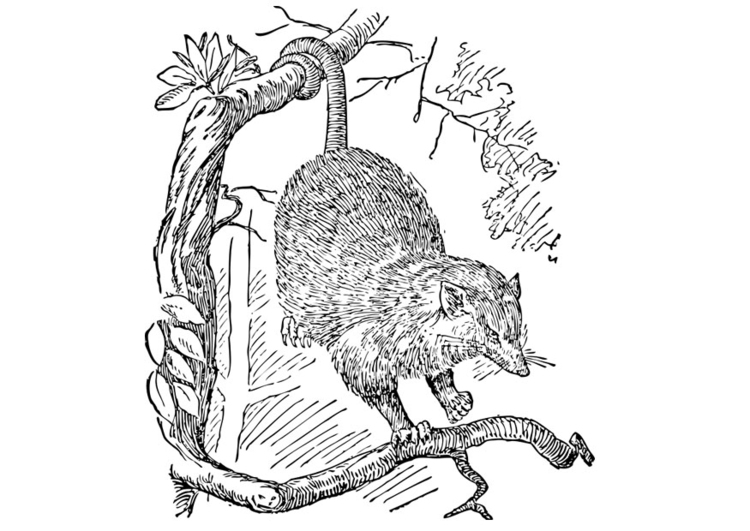 Coloring page possum
