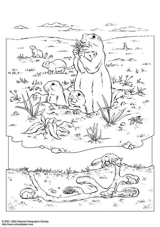 Coloring page prairie dog