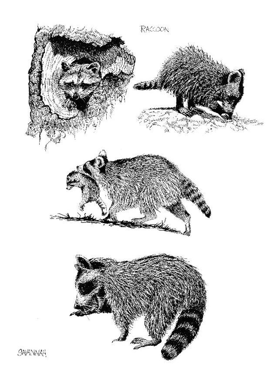 Coloring page racoon